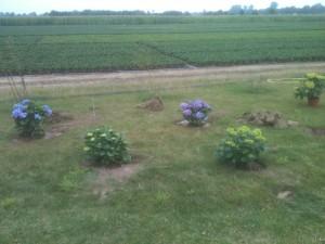 Noch ist es eher Rasen als Beet, aber die ersten Hortensien stehen.