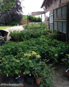 Unser Schatz: Rund 300 Hortensiensorten im Topf.