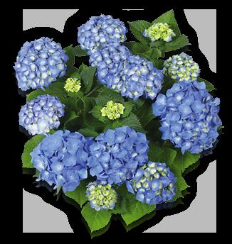 hort-blue-bela