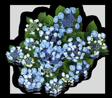 hort-blue-blaeuling