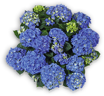 hort-blue-early-blue