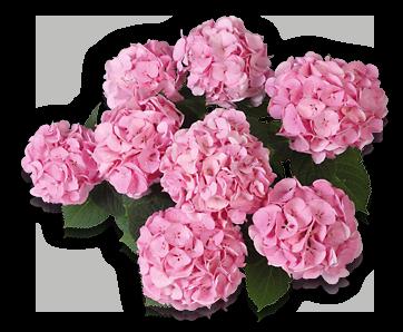 hort-pink-bela