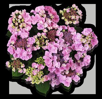 hort-pink-mirage(messalina)