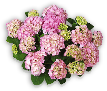 hort-pink-pink-beauty