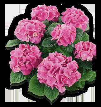 hort-pink-rosita