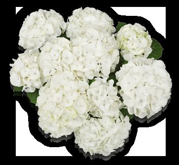 hort-white-bianco