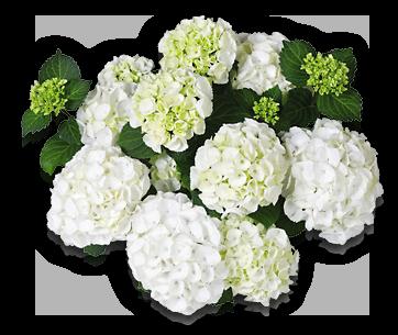 hort-white-clarissa