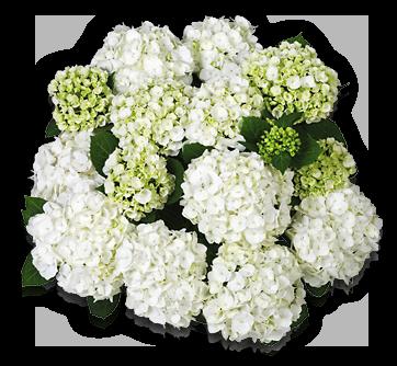 hort-white-first-white