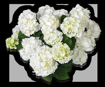 hort-white-schneeball