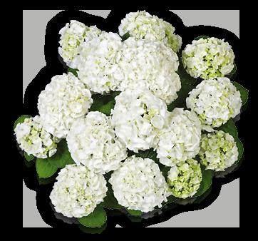 hort-white-wudu