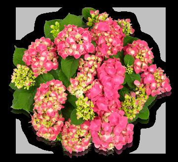 hort-sonder-tivoli-pink