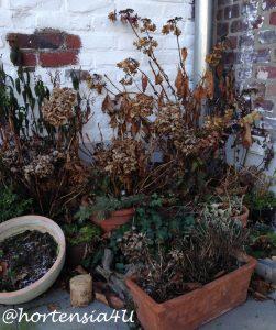 hortensia_pellens_winterschutz1