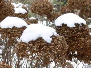 Gut eingewachsene Hortensien im Beet vertragen auch mehrere Grad minus. Foto: Günther Schad, pixelio
