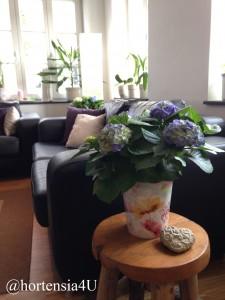 Zimmer-Hortensien bringen frische Farbe ins Haus.