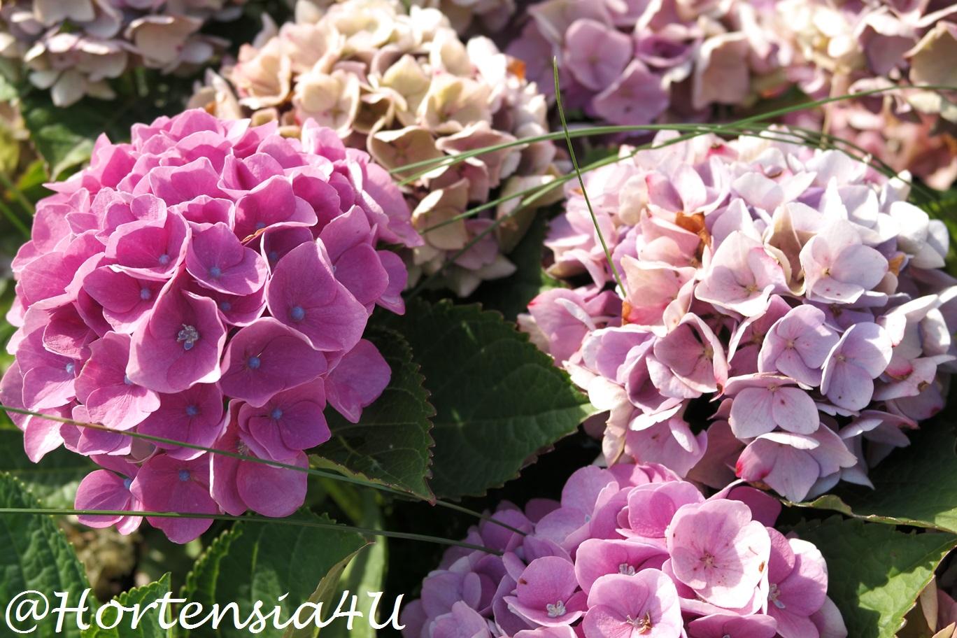 Favorit Hortensienblüten trocknen - so geht es einfach und schnellHortensia ZV05