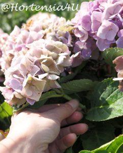 Favorit Hortensienblüten trocknen - so geht es einfach und schnellHortensia EK63