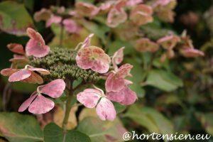Hortensia das besondere f r siehortensia das besondere for Herbstdeko 2016 draussen