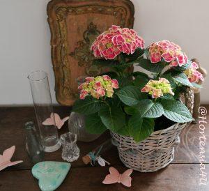 Hortensia Natural Spring Hortensie Pellens