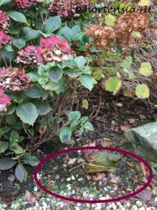 Nässe Hortensien Herbst Wasser Staunässe Hortensia