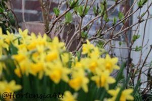 Frühling Osterglocken Narzissen Hortensien Knospen Pellens