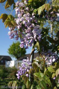 Blauregen Hortensia4U