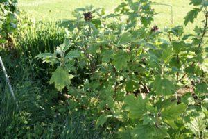 Hydrangea Quercifolia Burgundy Hortensia4U