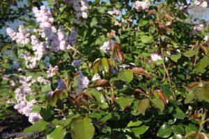 Flieder Rose Hortensia4U