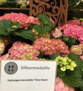 Three Sisters Hortensie Silbermedaille