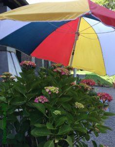Sonnenschirm schützt Hortensie vor Hitze