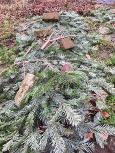 Artischocken Winterschutz Sortengarten Tannenzweige